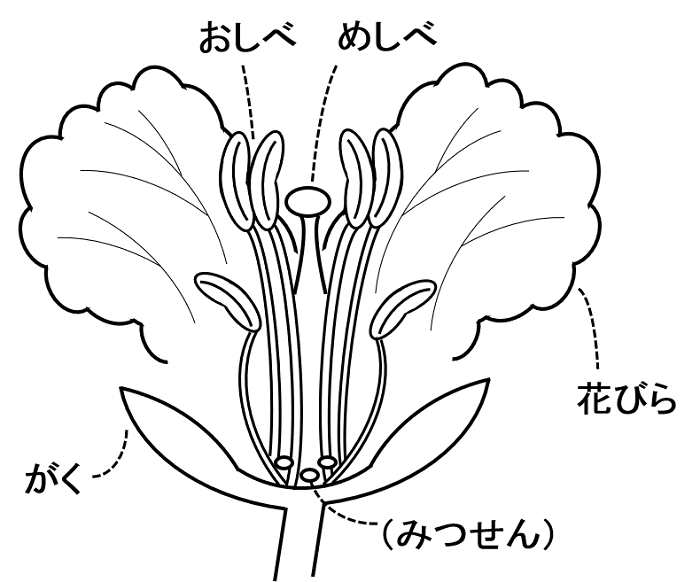 タンポポ 合弁 花